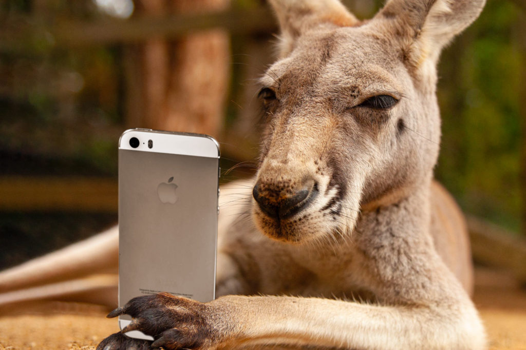 Kangaroo holding a mobile phone and looking unhappy